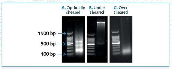 chromatin preparation shearing
